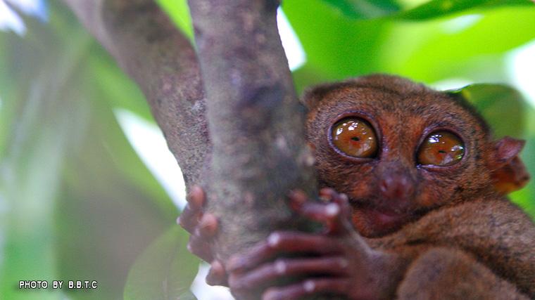 tarsier2.jpg