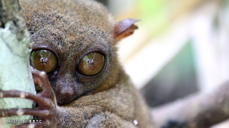 tarsier4.jpg